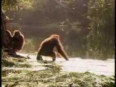 Orangutan measures the depth of the water, to make sure it's safe for her and her baby to cross the river - stupid animals I don't think so!