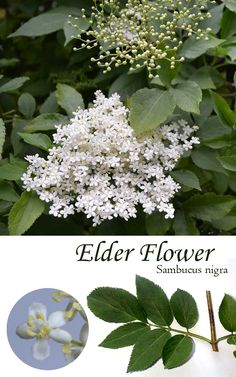 Elderflower - the late-spring flower of the Elder Tree. Use its perfumed blossoms to make cordial, champagne, desserts, and preserves. Can be found growing wild throughout the UK, Europe, and parts of North America.
