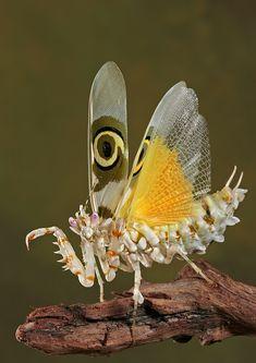 Spiny flower mantis Pseudoharpax virescens
