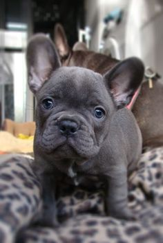 The major breeds of bulldogs are English bulldog, American bulldog, and French bulldog. The bulldog has a broad shoulder which matches with the head. Cute Puppies, Cute Dogs, Dogs And Puppies, Doggies, Frenchie Puppies, Blue Frenchie, French Bulldog Breeders, Baby Animals, Cute Animals
