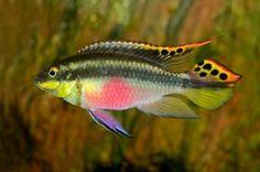 Kribensis (Pelvicachromis pulcher) are very popular dwarf African cichlids from Nigeria.