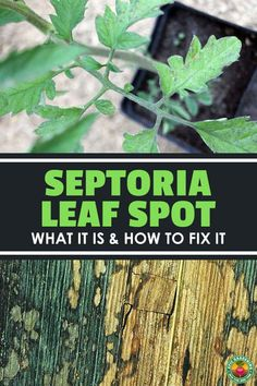 Septoria leaf spot is one of the most common garden diseases. Here's how to identify and treat this fungal infection!
