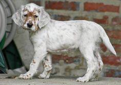 Orange Belton English Setter puppy