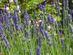 botanischer garden2 lavanta tarlasıııı :)