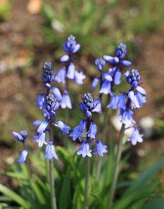 Klaas favoriet: Spaanse Boshyacint (Hyacinthoides hispanica)