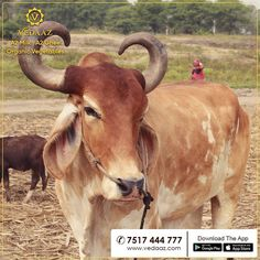 We have many Bulls also at our dairy who are treated with the same love & care as our milking female cows. Female Cow, Same Love, Organic Vegetables, Cows, Dairy, Milk