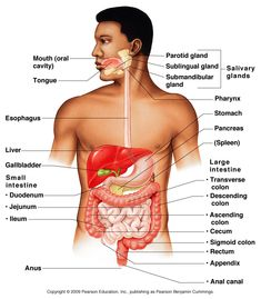 Accessory Organs Of The Digestive System 84 Best Anatomy & Physiology Images On Pinterest  Medicine Nursing