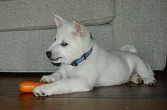 Nationa Puppy Day! 5 wo kishu inu