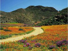 Namaqualand, south africa, field of flower, sunny colors Visit South Africa, Cape Town South Africa, Places To Travel, Places To See, African Plants, Champs, Flower Landscape, Desert Plants, Wildflowers