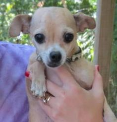 Waffles is an adoptable Chihuahua Dog in Falmouth, KY. Please text o call Missy at 859-486-3120 to meet this pet. this 3 year old little guy is in need of a home. he is very sweet and loving. he is g...