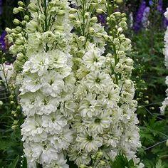 Delphinium 'Green Twist' -Perennial;      5-6 ft tall, Summer blooms, Full sun to partial shade.