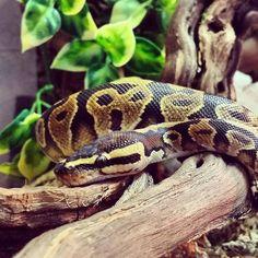 Python regius yellowbelly Königspython