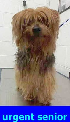 BOBBY (A1716795) I am a male black and tan Yorkshire Terrier. The shelter staff think I am about 8 years old and I weigh 8 pounds. I was found as a stray and I may be available for adoption on 08/12/2015. — hier: Miami Dade County Animal Services. https://www.facebook.com/urgentdogsofmiami/photos/pb.191859757515102.-2207520000.1438982601./1024343010933435/?type=3&theater
