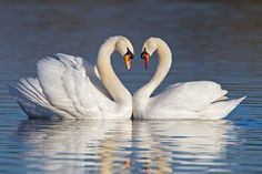 Mute swans forming a heart shape with their necks during courtship...