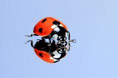 Ladybug, ladybug, fly away.