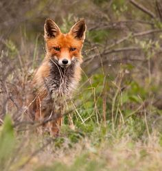 Red Fox by Nancy_Reuten on 500px