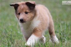 sheltie puppies grand rapids michigan