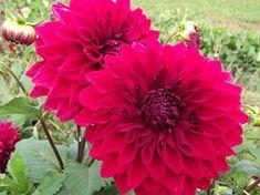 Ferncliff Gardens - Hart's Blood Red