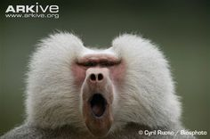 Hamadryas-baboon-male.jpg (650×432)