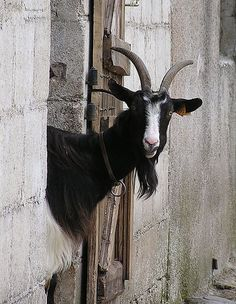 I told you. All deliveries are in the baaaaaa-ck! Barnyard Animals, Cute Animals, Wild Animals, Beautiful Creatures, Animals Beautiful, Goat Farming, Baby Goats, All Gods Creatures, Country Life