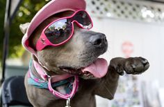 Pit Bulls Are Not the Enemy - elle the pit bull Great article! - HuffPost DC