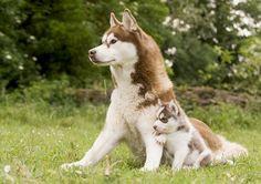 Husky duo- I want a husky so bad. They're beautiful dogs