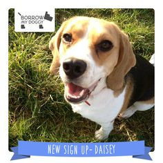 #NewDoggySignUp Daisey is a lively, friendly, snuggler of a Beagle who loves everyone with boundless energy :)