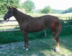 Horse Breed Hessian