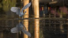 Snowy Egret with Reflections https://www.facebook.com/bruce.frye.photography