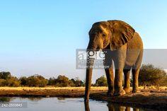 African bush elephant (Loxodonta africana) drinking at a waterhole. Mashatu Game Reserve. Northern Tuli Game Reserve. Botswana © Roger de la Harpe / age fotostock - Stock Photos, Videos and Vectors