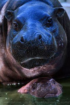 Mama & baby hippos | Hexaprotodon liberiensis – Zoo de Lisboa