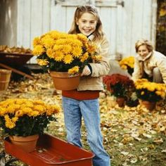 Mums are available in a variety of colors.