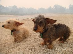Wire haired doxies SO CUTE