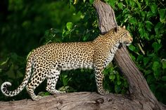 A leopard on the prowl at Chitabe Panther, Wilderness, Camping, Animals, Image, Beautiful, Gatos, Animaux, Panthers