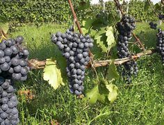 The wines created with the Agiorgitiko grape are known for their incrediby deep, plum-like purple color. Wines made with Agiorgitiko can taste very different depending on where the Agiorgitiko grapes are grown. http://www.snooth.com/varietal/agiorgitiko/