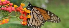 If you want to attract butterflies to your garden, be sure to include these ideas. Research the types of plants and flowers that attract butterflies but they have other needs. Provide water, supplemental food and a place to rest. You'll want to include a mud puddle.  You can offer them bananas and other pieces of fruit. Some gardeners include salt blocks in their garden. Butterflies bask in the sun to warm up. Include flat rocks in the sunny spots.