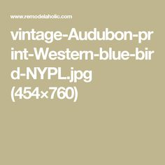 vintage-Audubon-print-Western-blue-bird-NYPL.jpg (454×760)