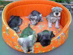 Venda de lindos filhotes de schnauzer - 38412304