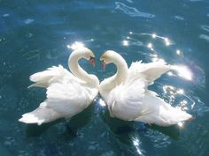 Swans mate for life...when one dies, the other can die of a broken heart