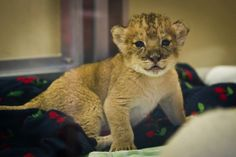 Squeee!! #baby #lion