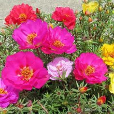 Types Of Flower For Most Suitable Home Garden 500 Portulaca Grandiflora Moss Rose Double - Home Decor Bonsai Garden, Lush Garden, Lawn And Garden, Home And Garden, Portulaca Grandiflora, Corner Plant, Sun Plants, Good Morning Flowers, Growing Roses