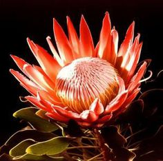 King Protea - national flower of South Africa Protea Plant, Protea Flower, My Flower, African Flower Crochet Animals, Planners, South African Flowers, Bush Wedding, King Protea, Order Flowers
