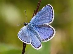 Ketosinisiipi, Plebeius idas - Perhoset - LuontoPortti Holly Blue, Forest Plants, Flying Flowers, Forest Animals, Life Cycles, Pet Birds, Finland, Butterflies, Nature
