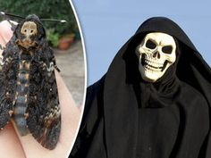 GIANT moths with a 'Grim Reaper' reputation because of the spooky skull-shaped markings on their back are swarming into Britain.