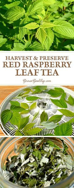Red raspberry leaf tea has been used for centuries for conditions involving the uterus. See how to harvest and preserve your own raspberry leaf tea.