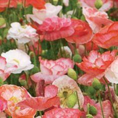 Garten: Mohnblumen Pflanzen   Tipps Für Aussaat Und Pflege