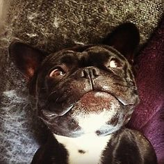 Gordan the Frenchie gives a goofy grin! by measalmijarvi http://instagr.am/p/QM3WFGIXg2/