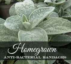 Antibacterial plants