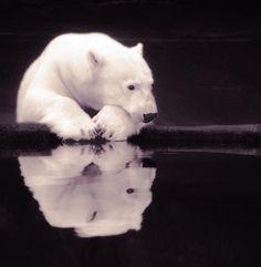 Lonely Polar Bear  8 X 8 fineart photographic print by StoriedEye