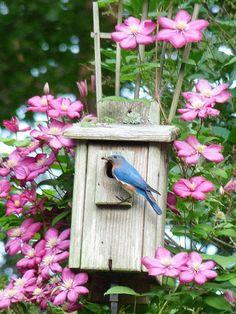 Birdhouse with clematis flowers. Love Birds, Beautiful Birds, Beautiful World, Beautiful Pictures, Clematis, Bird Cages, Jolie Photo, Bird Watching, Bird Feathers